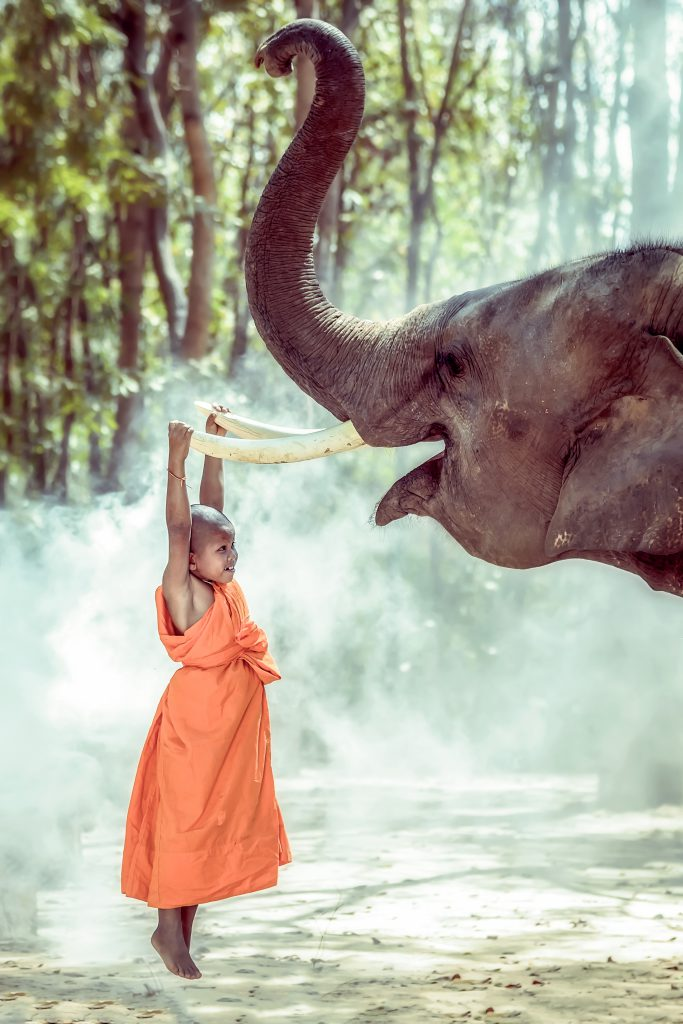 Novices buddhist monk being compassionate elephant,Surin ,Thailand